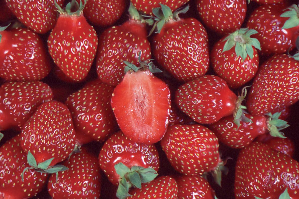 chambly fraisier plant de fraises. Black Bedroom Furniture Sets. Home Design Ideas