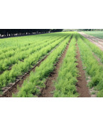 Asparagus plants - Varieties