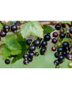 Balckcurrants plants - Varieties