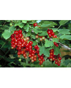 Redcurrants plants - Varieties