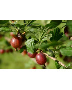 Gooseberry plants and gooseberries - Varieties